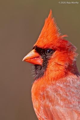 Cardinal_H7I4722-Edit