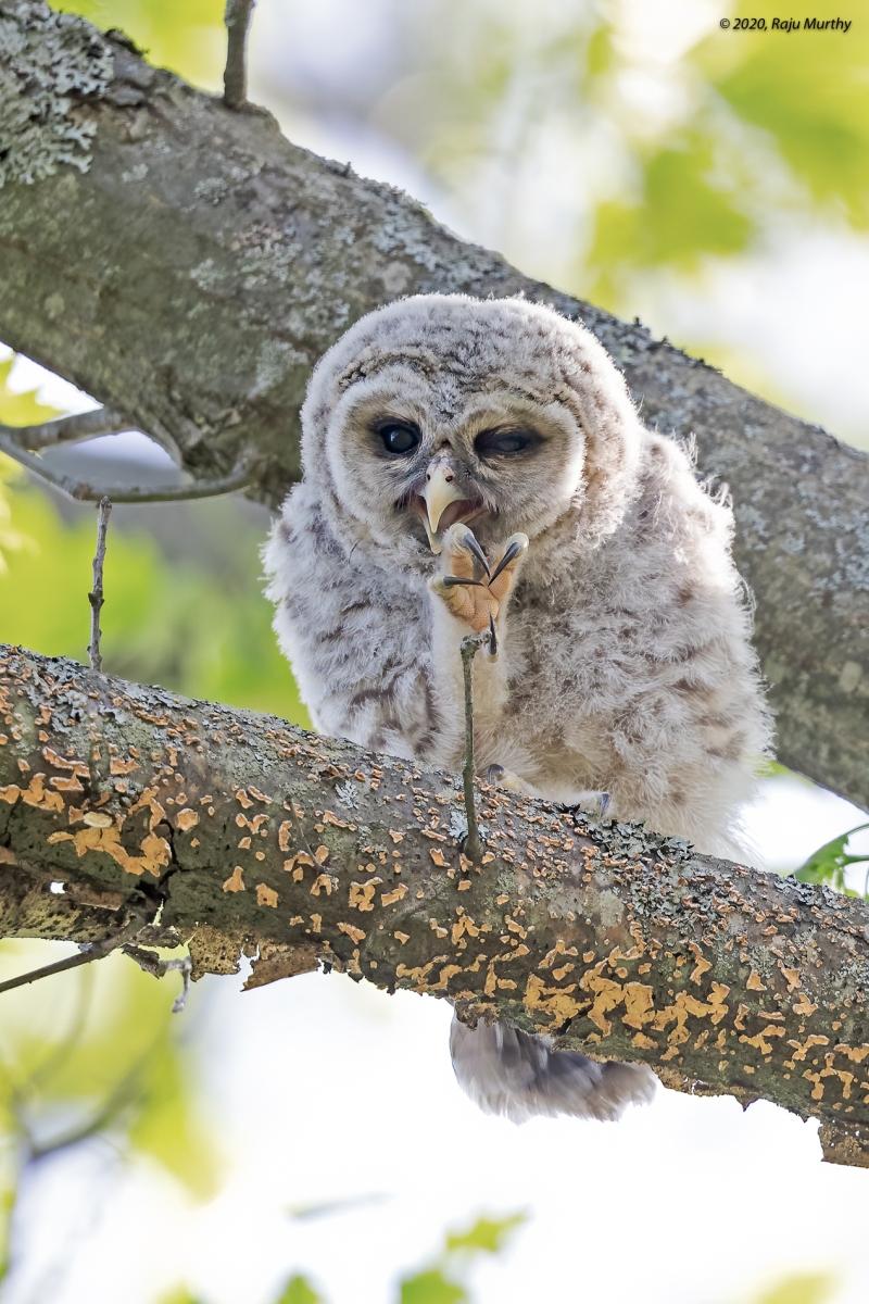 Barred-Owl-Baby_H7I2563-Edit