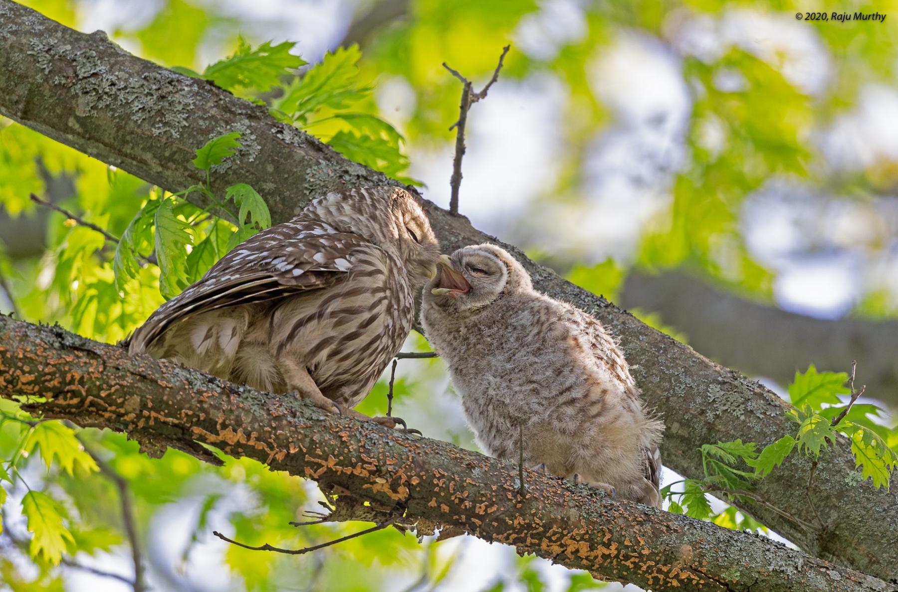 Barred-Owls_H7I2672-Edit