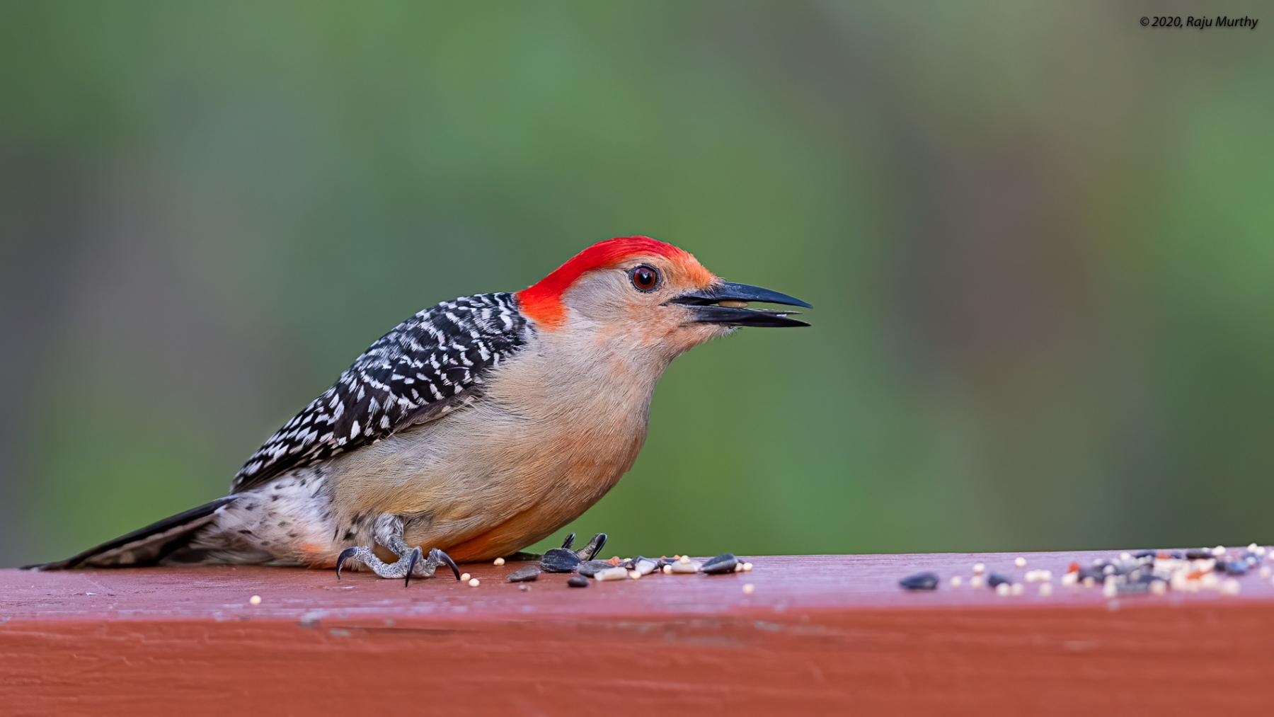 Red-bellied-Woodpecker_H7I3420-Edit
