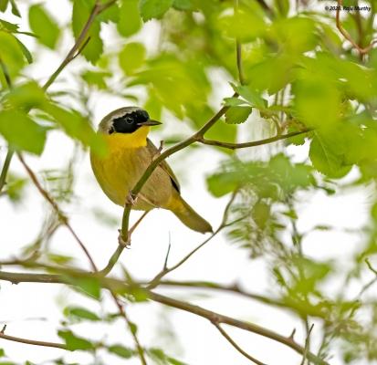 Common-Yellow-Throat_H7I1487-Edit