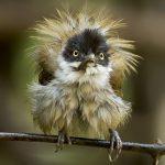 Dark-fronted Babbler