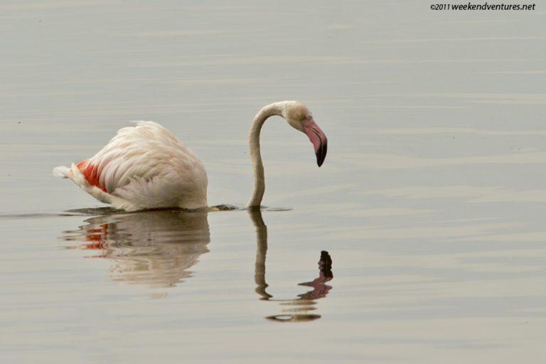 Lesser Flamingo - Lake Nakuru