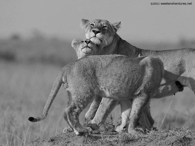 A Lion Family