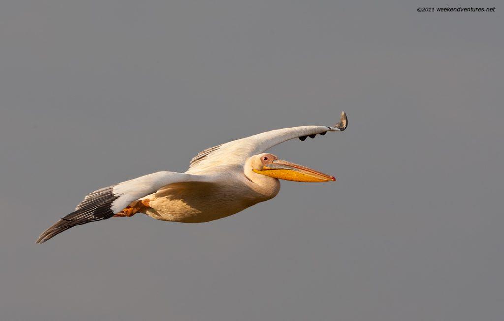 Yellow-Billed Pelican