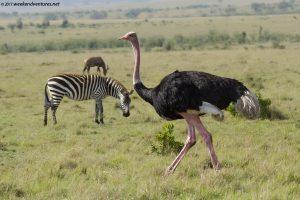 Ostrich scape
