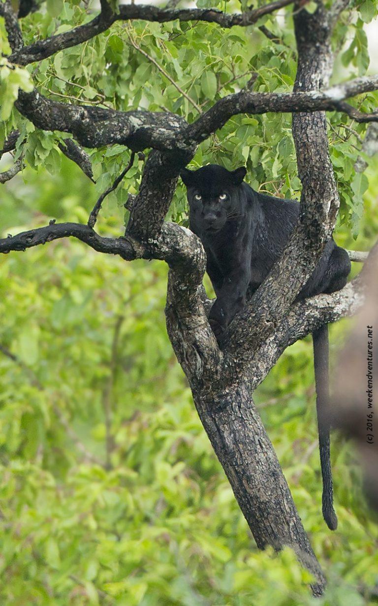 Black Panther - Kabini