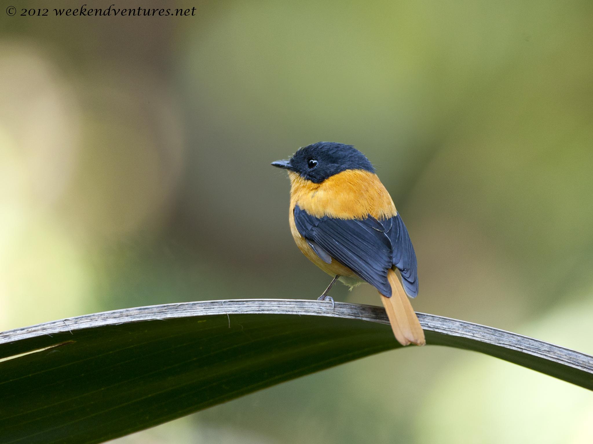 Black & Orange Flycatcher - Ooty
