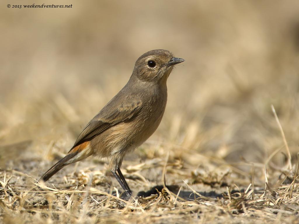 Black Redstart (female)