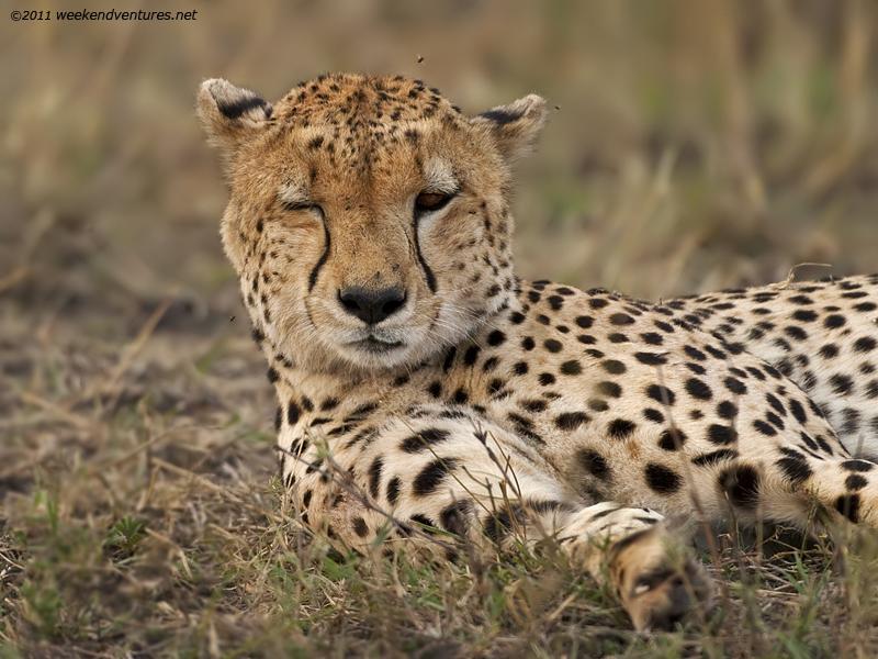 Winking Cheetah