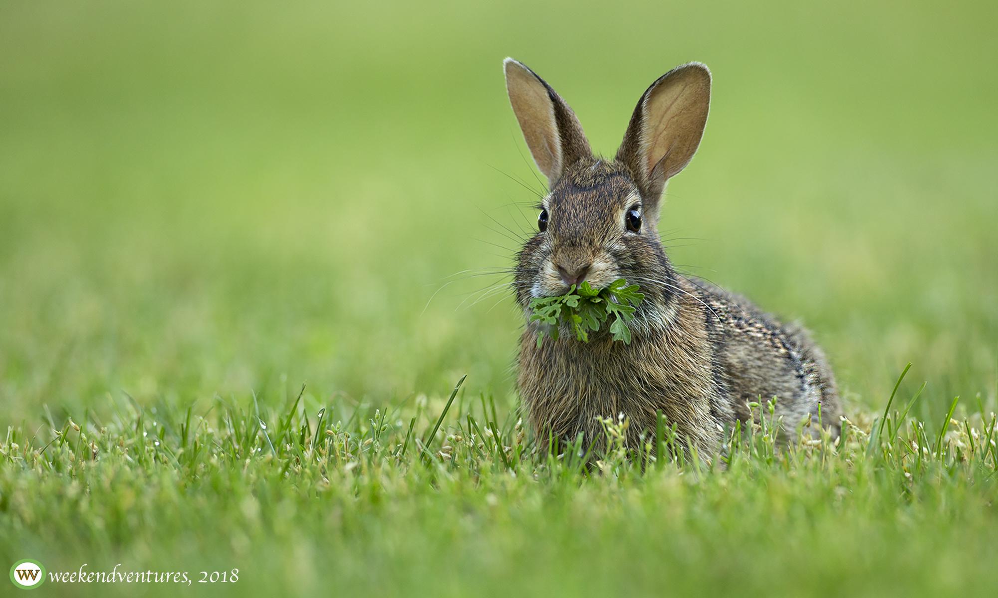 Rabbit - Pine Banks, Melrose