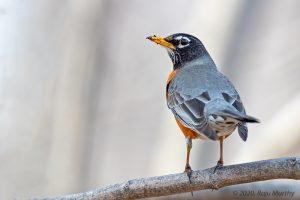 American Robin - HornPond, Woburn, MA