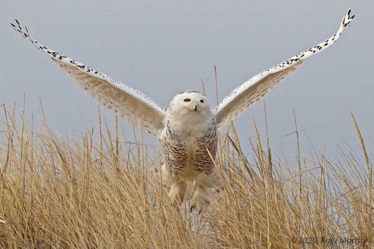 Snowy Owl - Newburyport, MA