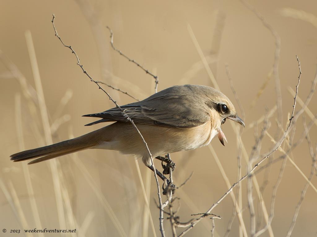 Isaballine Shrike