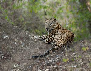 Leopard - Bandipur