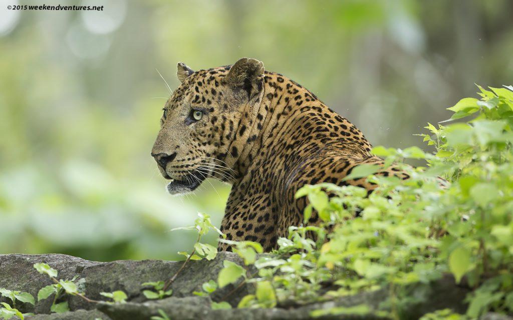 Leopard - Kabini