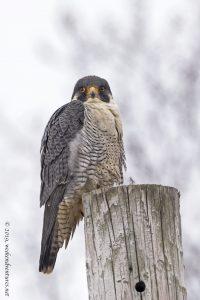 Perigrine Falcon