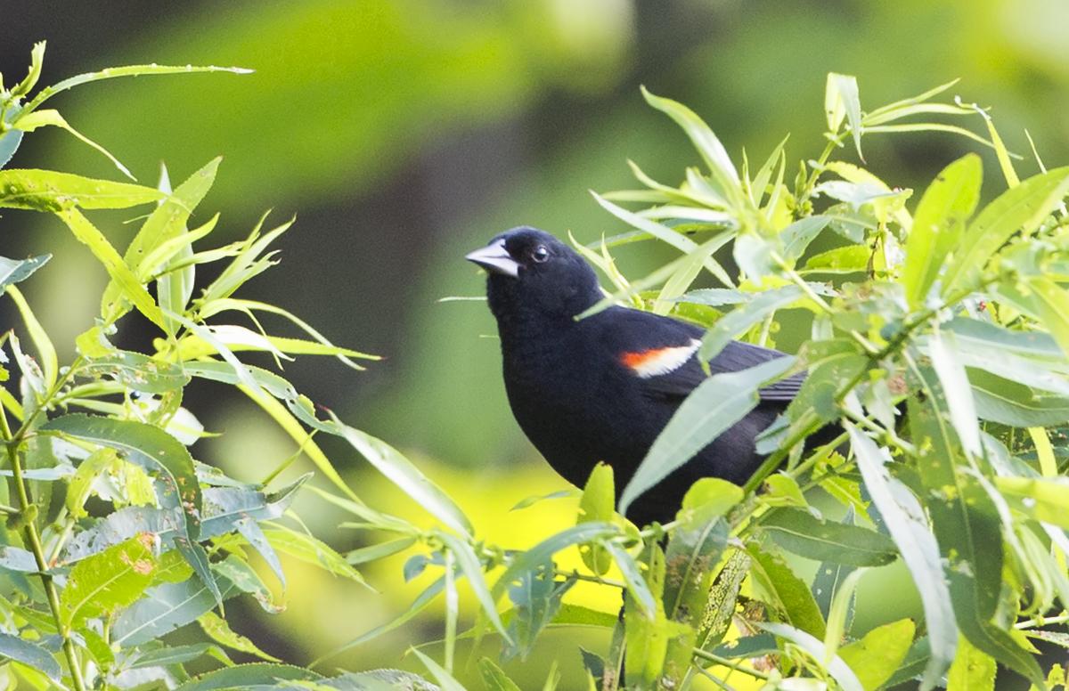 Red-Winged Blackbird - Pine Banks Park, Melrose