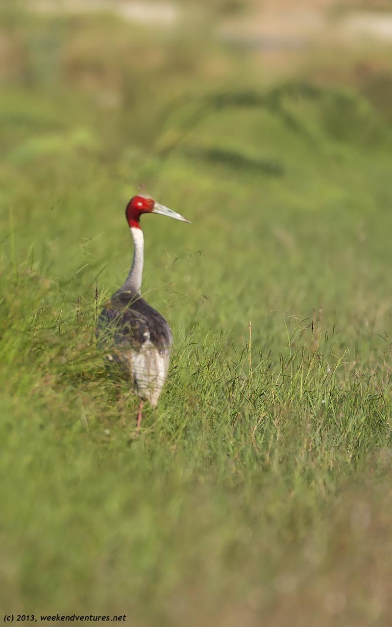 Sarus Crane - Bharatpur