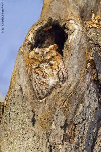 Screech Owl (RedMorph)