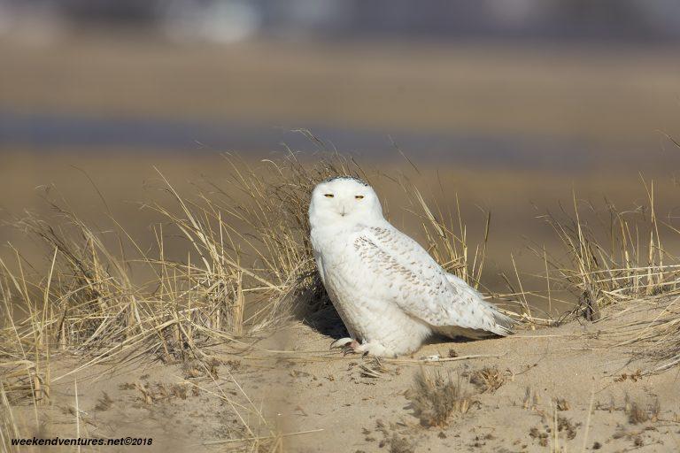 Snowy Owl_Plum Island