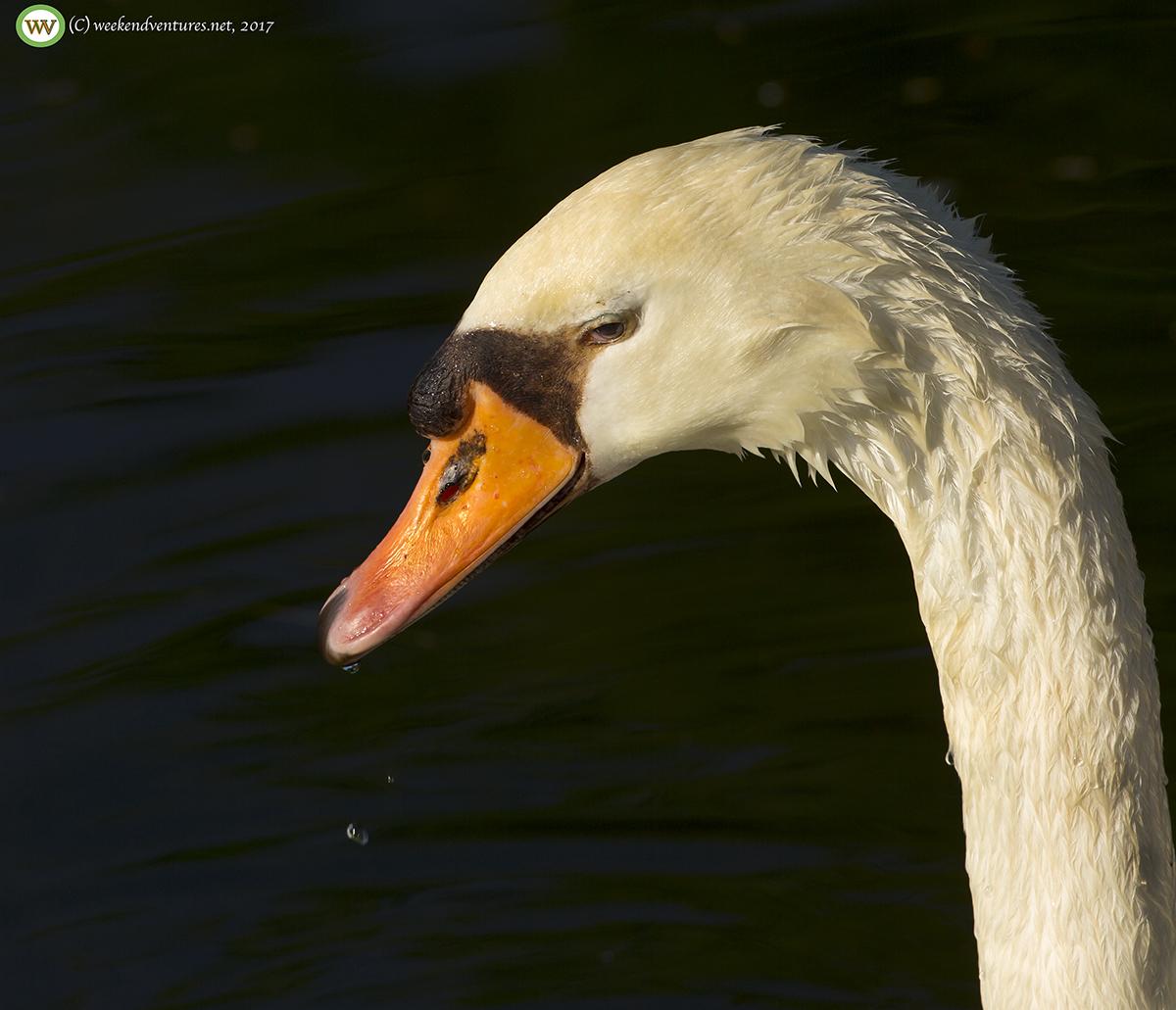 Mute Swan - Boston Commons Park
