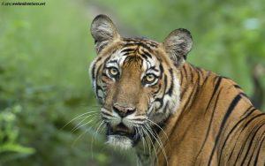 Tigeress Portrait