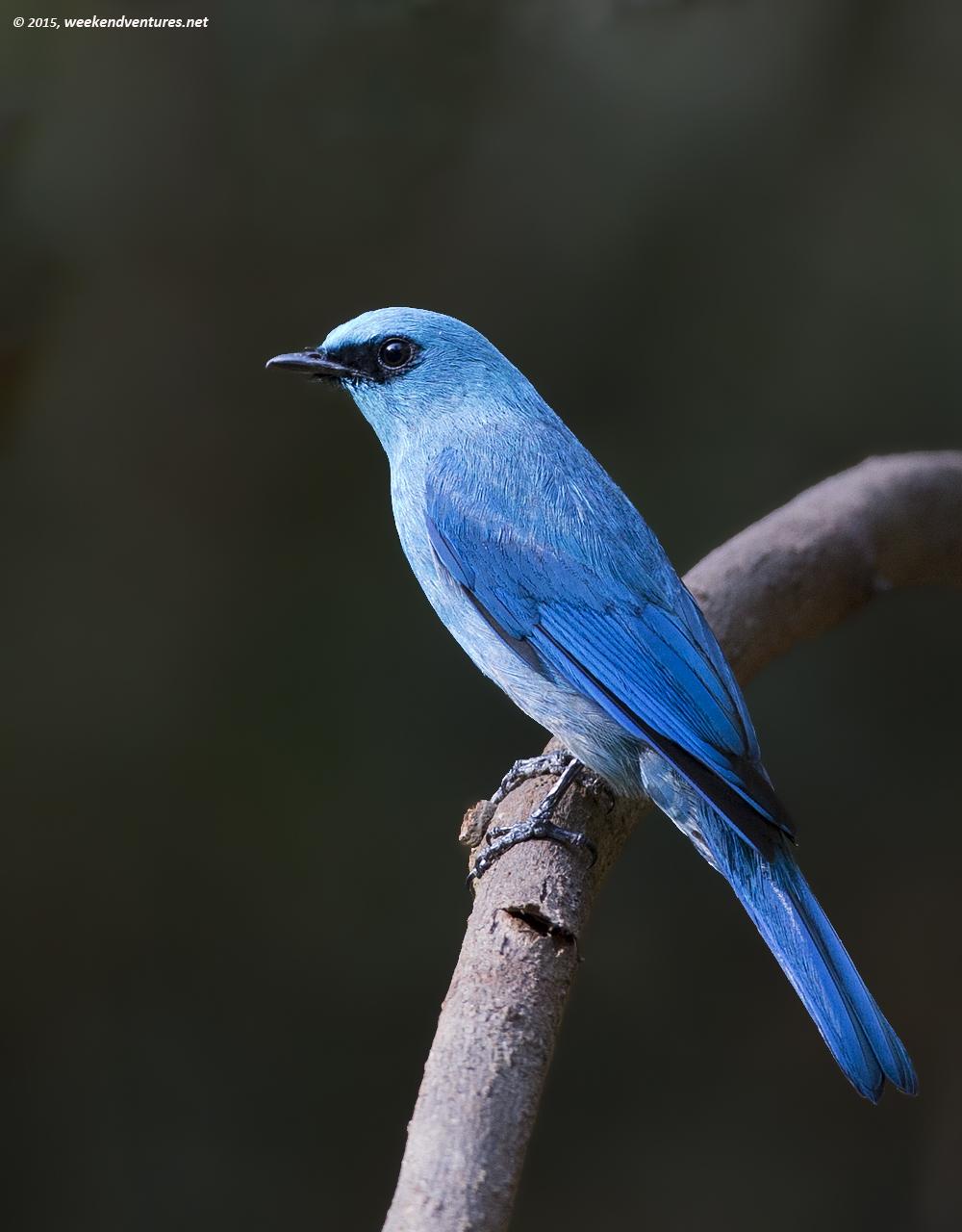 Veriditer Flycatcher (Male)