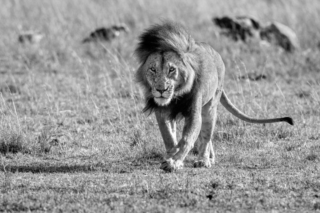 Lion in B&W