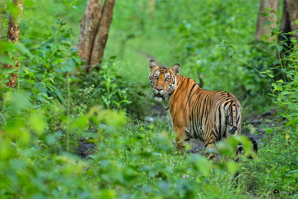 Tigress - Kabini
