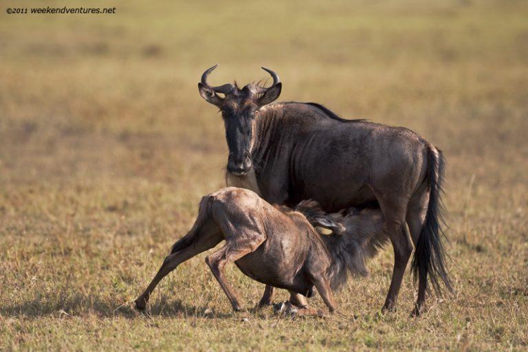 WildeBeast feeding
