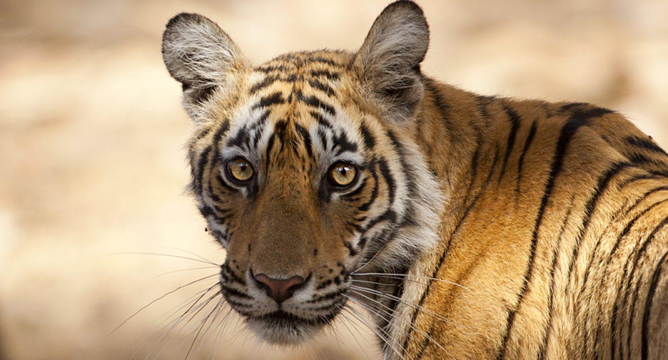 Young Tiger - Ranthanbhore