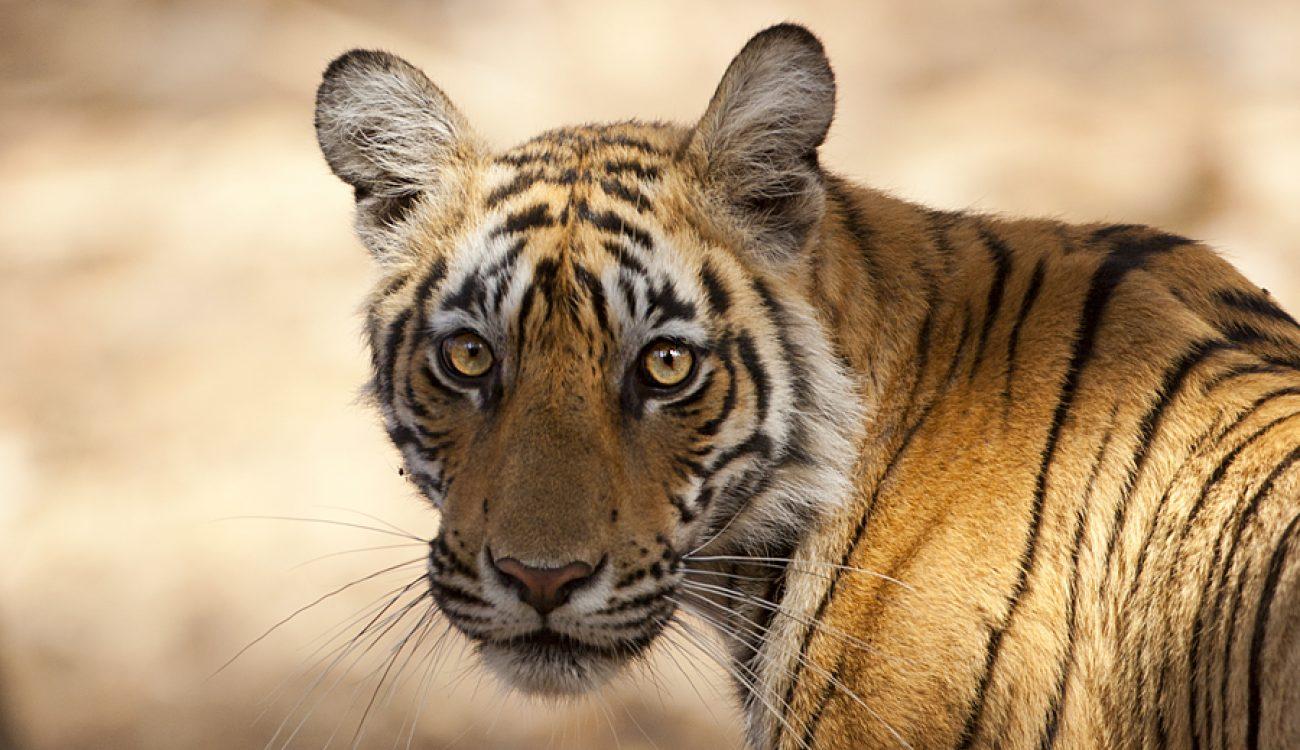 Tiger_DM39461