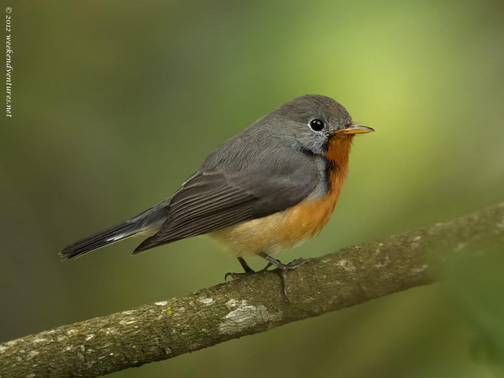 Kashmir Flycatcher