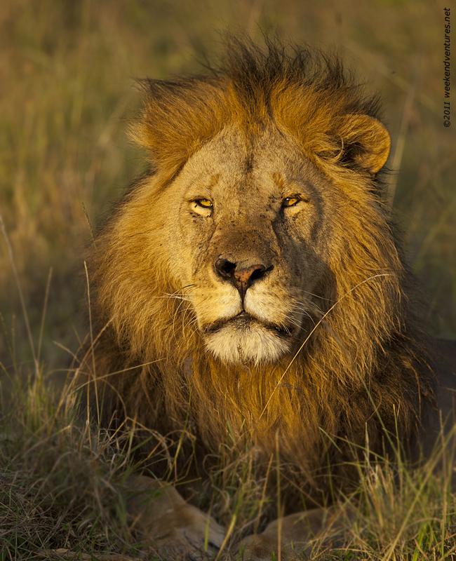 Lion in golden sun light