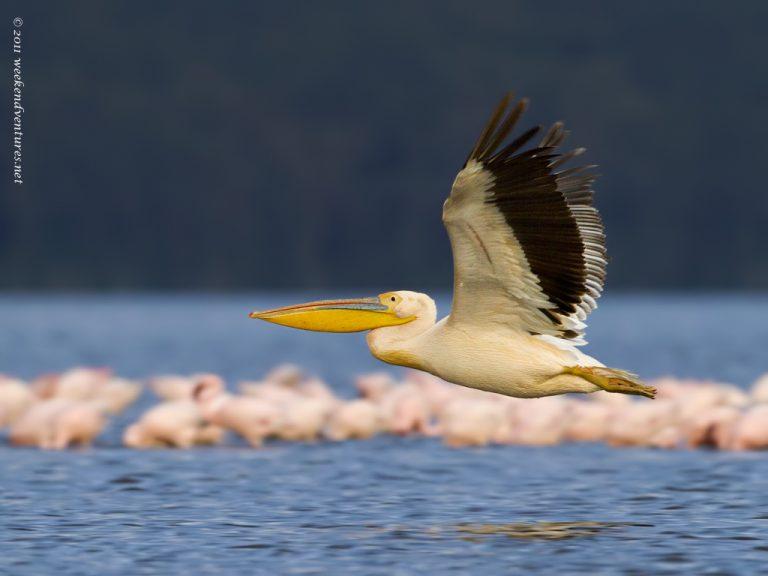 White-Bellied Pelican - Lake Nakuru