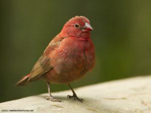 Red-Billed Fire Finch