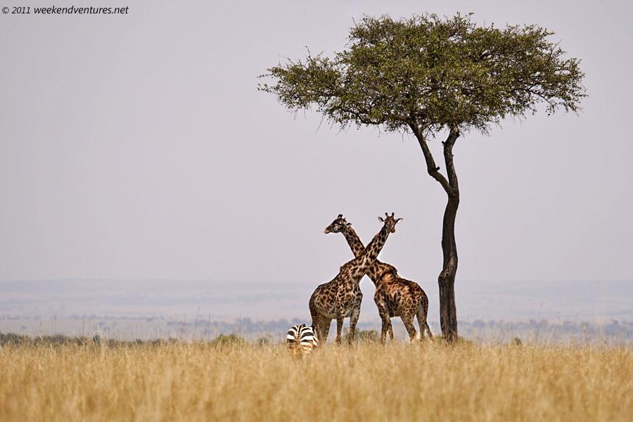 Giraffe Scape