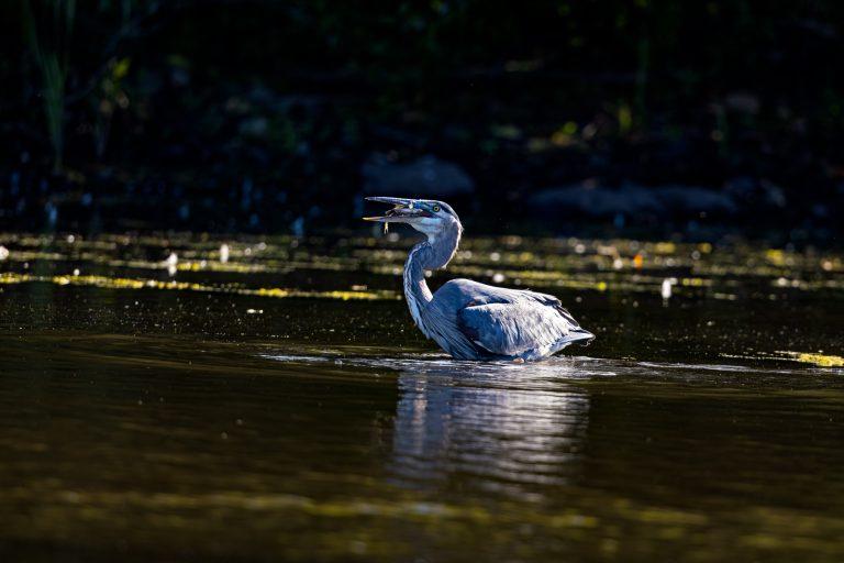 Great Blue Heron in spot light