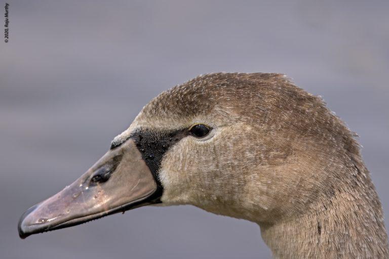 Sub adult Swan