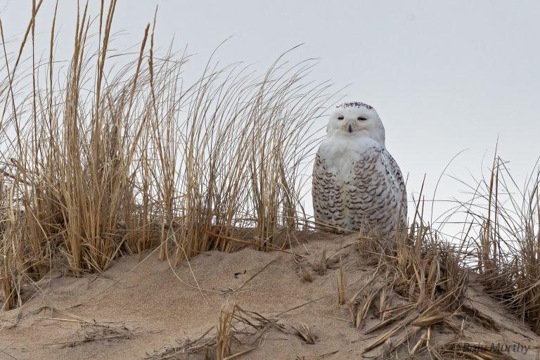 Snowy Owl - Newbuyport, MA
