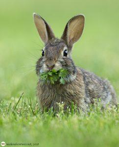 Rabbit - Pine Banks Park, Melrose