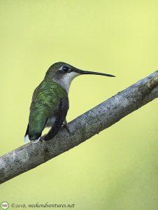 Ruby-Throated Humming Bird (Female)