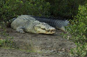 Saltwater Crocodile - Bhiterkanika