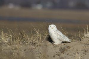 Snowy Owl - Plum Island
