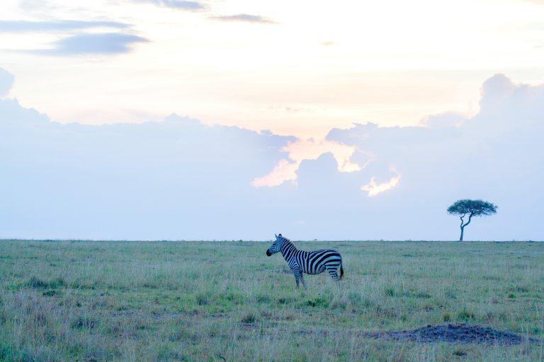 Zebra Scape